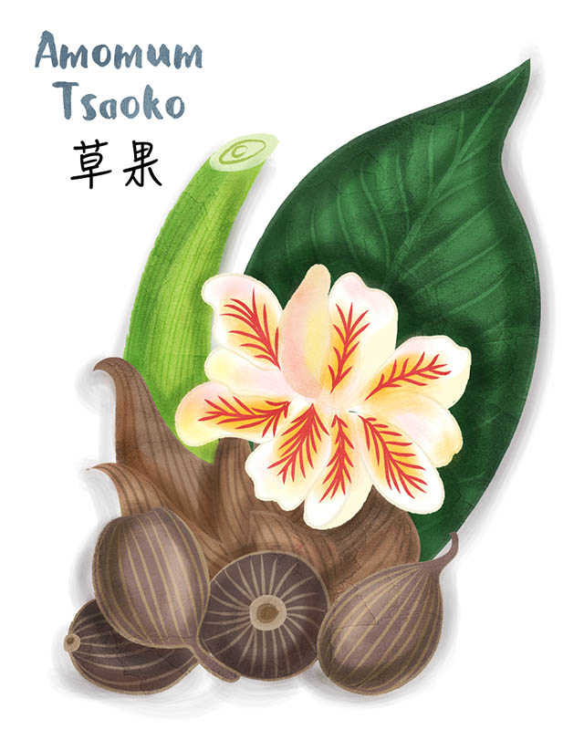 Amomum Tsaoko Chinese Spice Illustration