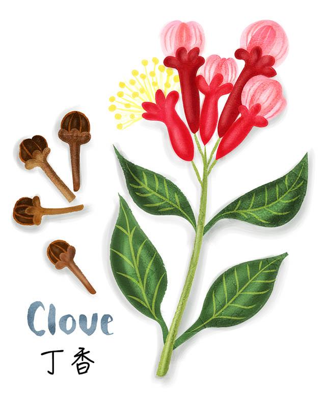 Clove Chinese Spice Illustration